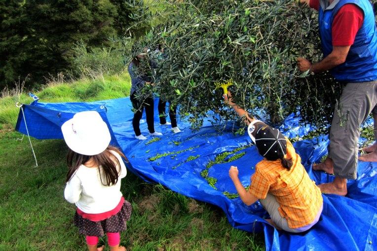 IMG_6488-olive-harvest